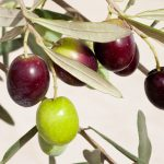 olive leaf helps fight lyme brain