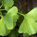 Ginkgo Boosts Brain Function